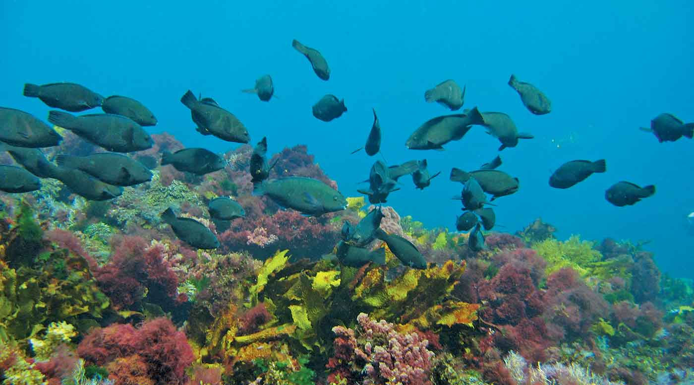 Underwater view of school of Parrotfish.