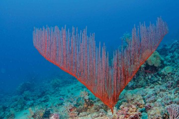Underwater view of gorgonian.