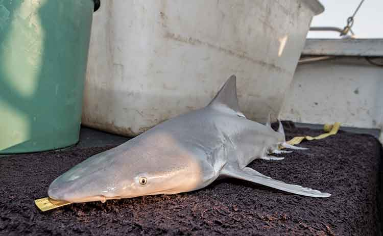 Northern River Shark on deck being measured.