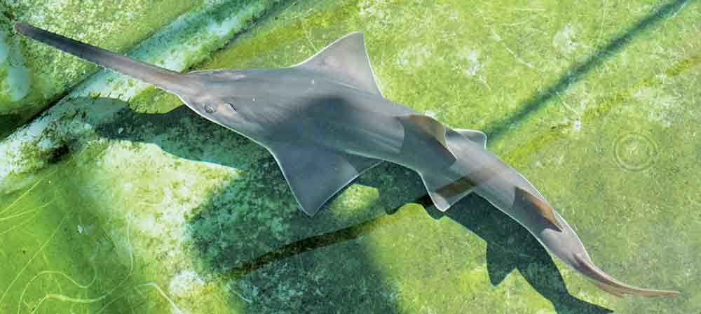 Largetooth sawfish.
