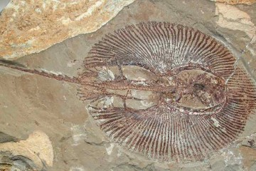 Fossil of an extinct ray.