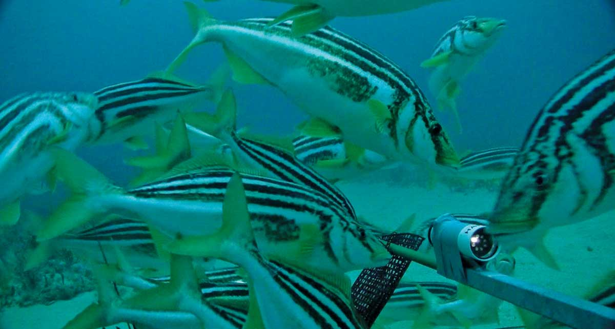 Underwater view of striped trumpeter.