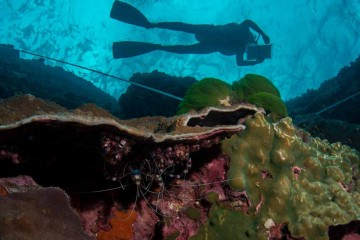 View of diver and lobsters underwater.