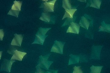 Eagle rays swimming in group.