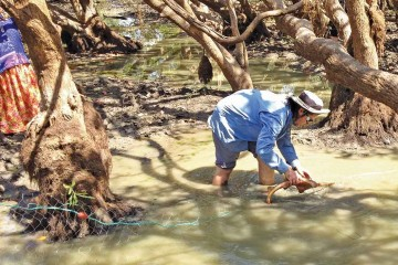 Removing sawfish from the Daly River.