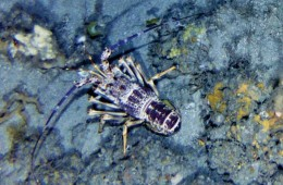 Large white rock lobster on sea floor.
